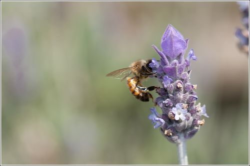 Lavendar Bee (3 of 3).