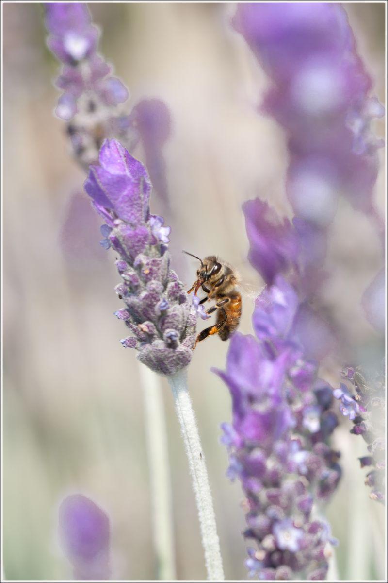 Lavendar Bee (1 of 3).