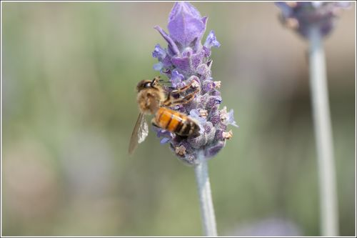 Lavendar Bee (2 of 3).