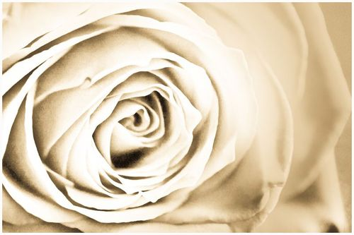 Red Rose 300711.Sepia.